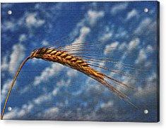 Haymaker Acrylic Print