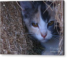 Haystack Cat Acrylic Print by Greg Patzer