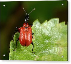 Hazel Leaf-roller Weevil Acrylic Print by Nigel Downer