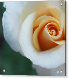Acrylic Print featuring the photograph Hazy Rose Squared by TK Goforth