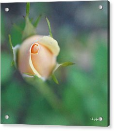 Acrylic Print featuring the photograph Hazy Rosebud Squared by TK Goforth