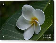 He Aloha No O Waianapanapa - White Tropical Plumeria - Maui Hawaii Acrylic Print by Sharon Mau