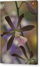 He Pua Ke Aloha - The Flower Of Love - Orchidea Tropicale Acrylic Print by Sharon Mau