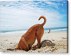 Head In The Sand Acrylic Print