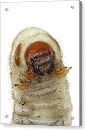 Head Of A Beetle Larva Acrylic Print by F. Martinez Clavel