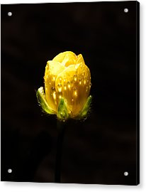 Head Of A Rose Acrylic Print by Sarah Crites