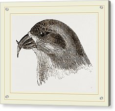 Head Of Crossbill Acrylic Print