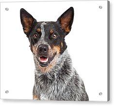 Head Shot Of An Australian Cattle Dog Acrylic Print by Susan Schmitz