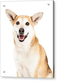 Head Shot Of  Australian Cattle And Shiba Inu  Mix Dog Acrylic Print