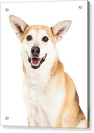 Head Shot Of  Australian Cattle And Shiba Inu  Mix Dog Acrylic Print by Susan Schmitz