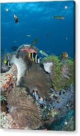 Healthy Reef Scene With Anemonefish Acrylic Print