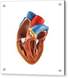 Heart Anatomy Model Acrylic Print