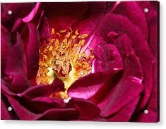 Heart O' The Rose Acrylic Print by Mike Farslow