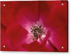 Heart Of Mother's Georgia Knock Out Rose Acrylic Print by Gene Walls