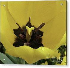 Heart Of The Tulip Acrylic Print by Arlene Carmel