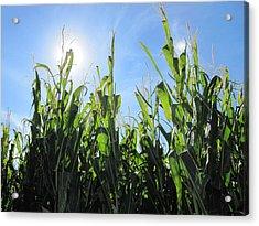 Heaven In Corn Acrylic Print by Amanda Powell