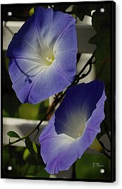 Acrylic Print featuring the photograph Heavenly Blue Morning Glory by James C Thomas