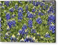 Heavenly Bluebonnets Acrylic Print