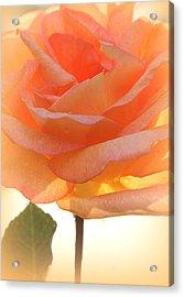 Heaven's Peach Rose Acrylic Print