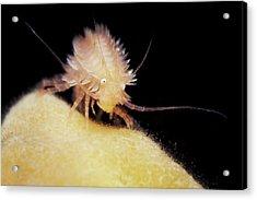 Hedgehog Amphipod Acrylic Print by Alexander Semenov