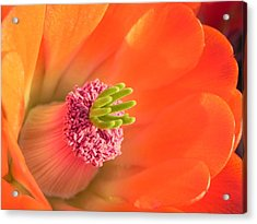 Acrylic Print featuring the photograph Hedgehog Cactus Flower by Deb Halloran