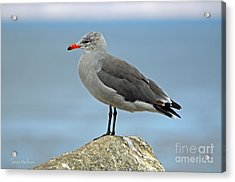 Heermann's Gull In Profile Acrylic Print