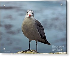 Heermann's Gull Looking At Camera Acrylic Print
