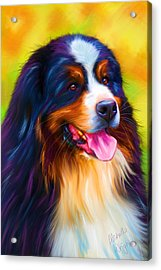 Colorful Bernese Mountain Dog Painting Acrylic Print by Michelle Wrighton