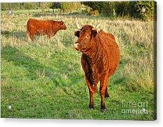 Heifer Bulls Acrylic Print