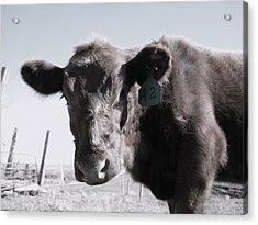 Heifer Acrylic Print