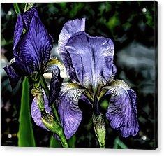 Heirloom Purple Iris Blooms Acrylic Print