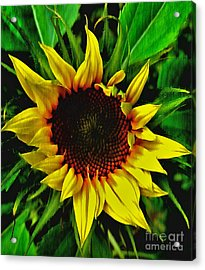 Helianthus Annus - Sunnydays Acrylic Print