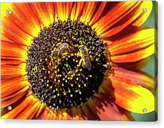 Helianthus Annuus 'solar Eclipse' Acrylic Print by Brian Gadsby/science Photo Library