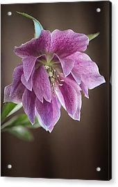 Helibores Acrylic Print by Shirley Mitchell