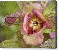 Heliborus Textured Acrylic Print