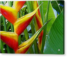 Heliconia Bihai Kamehameha Acrylic Print by James Temple