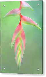 Heliconia Flower, Sarapiqui, Costa Rica Acrylic Print by Panoramic Images