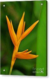 Heliconia Photo Acrylic Print