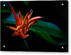 Heliconia Psittacorum Andromeda Acrylic Print by Donald Chen