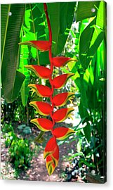 Heliconia Rostrata, Grenada, West Indies Acrylic Print by Susan Degginger