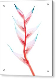Heliconia Sp. Bracts Acrylic Print by Brendan Fitzpatrick