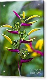 Heliconia Subulata II Acrylic Print