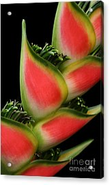 Heliconia Wagneriana - Giant Lobster Claw Heliconiaceae - Maui Hawaii Acrylic Print by Sharon Mau