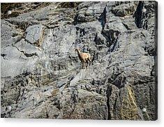 Big Horn Sheep Coming Down The Mountain  Acrylic Print