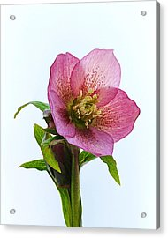 Acrylic Print featuring the photograph Hellebore Hybridus by Paul Gulliver