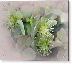 Hellebores3 Acrylic Print by Jeff Burgess
