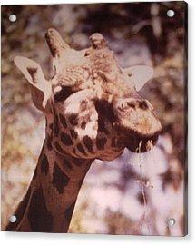 Acrylic Print featuring the photograph Velvety Giraffe by Belinda Lee