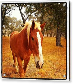 Hello Horse Acrylic Print