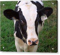 Hello My Name Is Cow Acrylic Print by Joseph Skompski