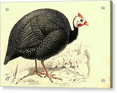 Helmeted Guineafowl Acrylic Print by Collection Abecasis